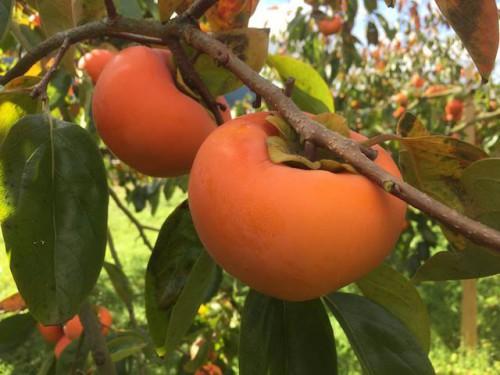 右田果樹園柿